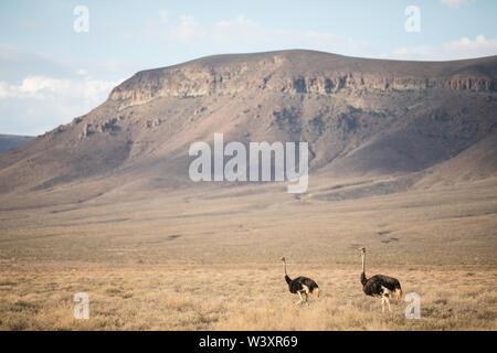 Tankwa Karoo National Park, Northern Cape, Afrique du Sud paysage aride de l'ibird est réputé pour la vie comme ces, Plectrophenax nivalis commun