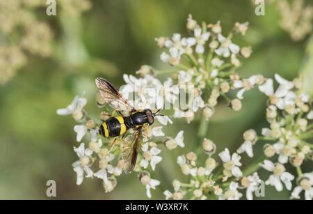 Deux bande Chrysotoxum bicinctum hoverfly (WASP) se nourrissant sur une fleur