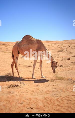Le désert de Wahiba en Oman Banque D'Images