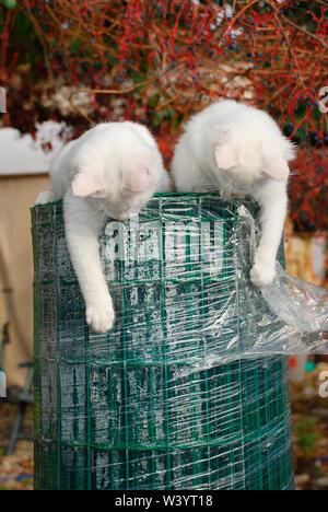 Deux semaines 14 chatons espiègles en haut d'un grand rouleau de fil vert palissades Banque D'Images