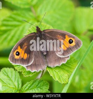 Papillon Gatekeeper, le repos avec des ailes ouvertes sur les jeunes feuilles vert Banque D'Images