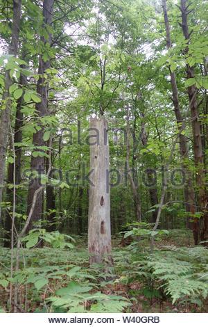 Arbre généalogique pic en été forest Banque D'Images