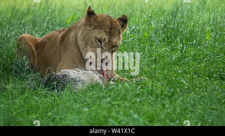 Portrait d'une lionne dans une zone herbeuse de manger ses captures Banque D'Images