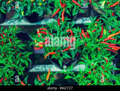 Close up of young Birds Eye Chilli tree avec ses piments verts et rouges frais Banque D'Images