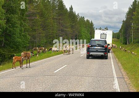 Immense troupeau de rennes (Rangifer tarandus) avec des petits sur la route. Arrêt de la circulation Banque D'Images