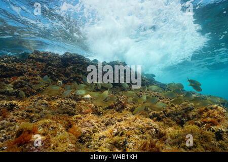 Banc de poissons (Sarpa salpa) avec des vagues se brisant sur rock sous l'eau, mer Méditerranée, Espagne, Costa Brava, Catalogne Banque D'Images