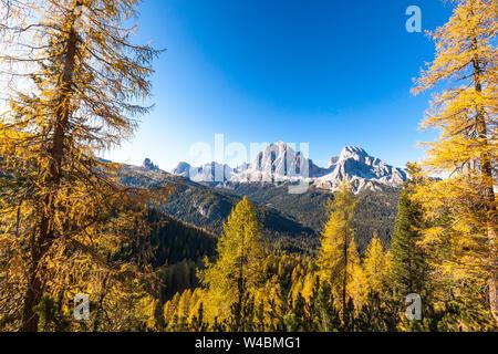 Bois de mélèzes en automne entourant le groupe Tofane, Dolomites, Cortina d'Ampezzo, Belluno, Veneto, Italie Banque D'Images