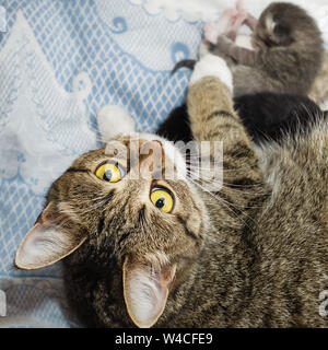 Chat gris se trouve avec les chatons nouveau-nés. Selective focus Banque D'Images