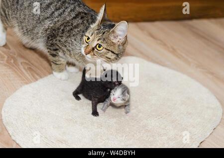 Les chatons nouveau-nés sur le tapis et un chat derrière . Selective focus Banque D'Images