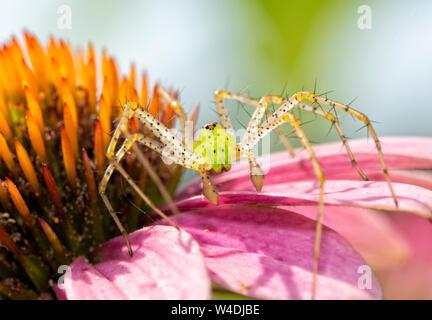 Libre d'un beau vert araignée Lynx en attente d'une proie sur le dessus de l'échinacée