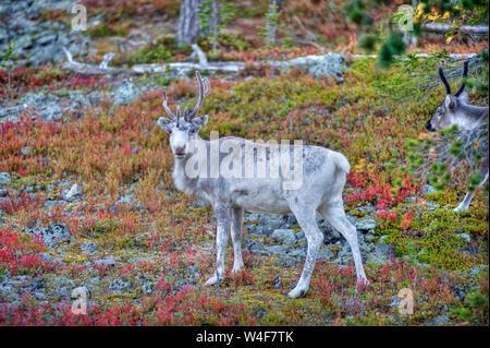 Le renne (Rangifer tarandus) dans la forêt de la taïga,temps Ruska (automne), Parc National Pallas-Yllastunturi, Laponie, Finlande