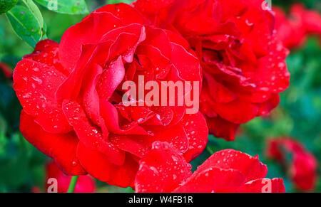 Image prise après une pluie d'été. Gros plan d'une belle grande fleur rose. Des gouttes de pluie sur les pétales de rose rouge.. Banque D'Images