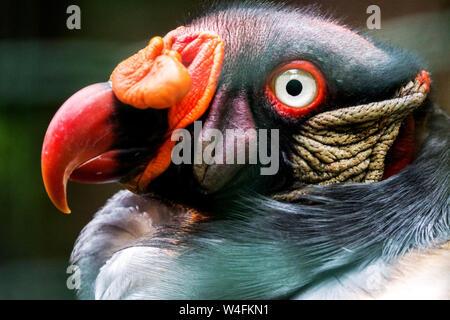 King vulture, Sarcoramphus papa, détail de tête avec bec Banque D'Images