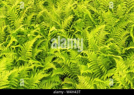 Résumé fond nature avec arbustes Fougère Banque D'Images