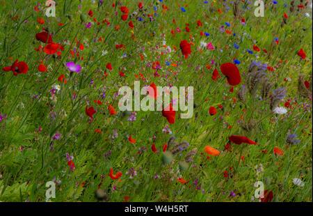Wildflower meadow résumé. Banque D'Images