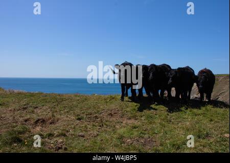 Bovins noir posant sur une falaise dans le parc national de Pembrokeshire Coast. Le sud du Pays de Galles. Banque D'Images