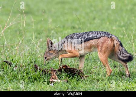 Le chacal à dos noir (Canis mesomelas) enquête sur une vieille carcasse, Grumeti Game Reserve, Serengeti, Tanzanie Banque D'Images
