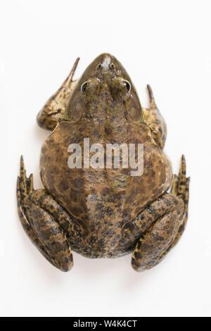 American Bullfrog sur fond blanc