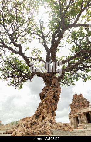 Arbre généalogique abandonnés à Vittala Temple à Hampi, Karnataka, Inde. Banque D'Images