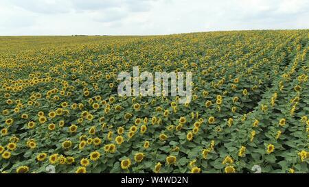 Tournesols dans le domaine. Superbes champs de tournesols en été. Banque D'Images