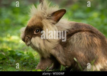 Un mignon lapin nain brun (lions head) reposant dans l'herbe