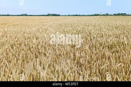 Vue sur champ de blé au cours de période de temps sec et prêt pour la récolte sous ciel bleu en été, Beverley, Yorkshire, UK.