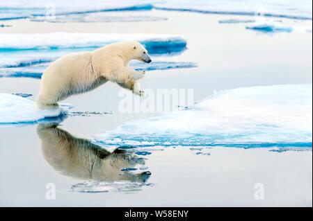 Le saut de l'ours polaire entre la glace de mer, Spitsbergen Banque D'Images