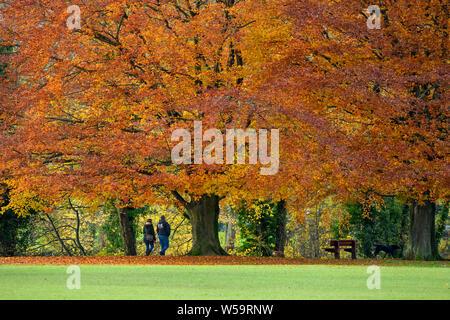 Couple walking dog sous d'énormes hêtres, la diffusion de l'affichage des couleurs d'automne - Scenic Park Crescent, Ilkley, West Yorkshire, Angleterre, Royaume-Uni. Banque D'Images