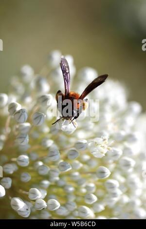 La pollinisation de l'Abeille fleur d'oignon Banque D'Images