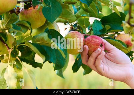 Part of young woman holding Red Apple sur un arbre entre les feuilles. La récolte de fruits d'automne.
