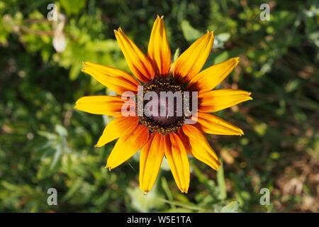 Gloriosa Daisy (Rudbeckia hirta) culture des fleurs dans un jardin de Glebe, Ottawa, Ontario, Canada. Banque D'Images