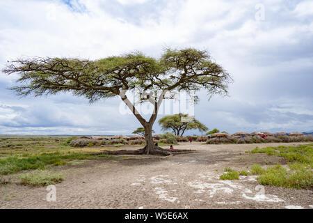 Acacia tree at The Serengeti National Park, Tanzania