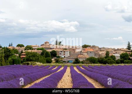 Village typique du sud de la France lors de la saison de floraison, Paysage animé avec champ de lavande pourpre et petites maisons anciennes Banque D'Images