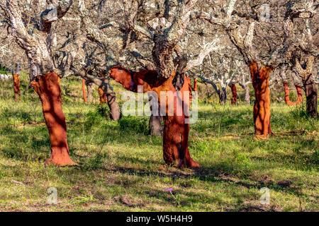 Dépouillé de chênes-lièges dans les régions rurales de Corse, France, Europe, Méditerranée Banque D'Images