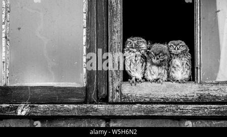 Trois hiboux en noir et blanc dans une fenêtre en bois. Banque D'Images