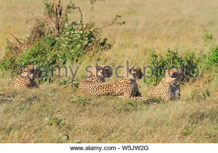 Quatre guépards guépard Acinonyx jubatus, profil, face, allongé sur l'herbe verte au repos. Réserve nationale de Masai Mara au Kenya l'Afrique. African Safari Banque D'Images