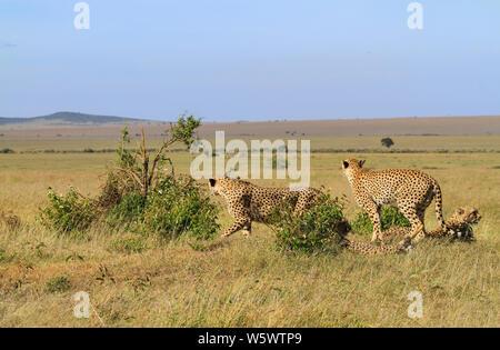 Quatre guépard Acinonyx jubatus, sur le point d'exécuter sur hunt, deux en position couchée. Le Masai Mara National Reserve, Kenya, Afrique. Distance à Savannah avec ciel bleu Banque D'Images
