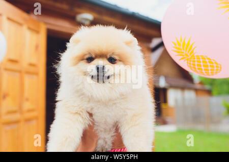 Petite race de chien Spitz Pomeranian sur la main. Banque D'Images