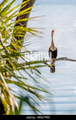 Oiseau serpent (anhinga) se trouve perché sur une branche dans son habitat naturel en Floride Banque D'Images