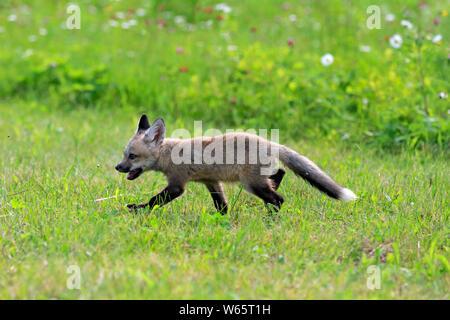 American Red Fox, CUB, Pine Comté (Minnesota), USA, Amérique du Nord, (Vulpes vulpes fulvus) Banque D'Images