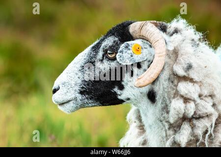 Brebis Swaledale (ovins) dans les vallées du Yorkshire, England, UK Swaledale moutons sont une race indigène de Yorkshire. Face vers la gauche.floue fond vert Banque D'Images