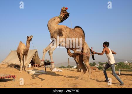 Son chameau trains herder tsigane pour le spectacle, à la foire de Pushkar, Rajasthan Camel. La foire est la plus grande foire de chameaux en Inde. Banque D'Images