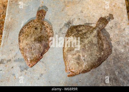 Sur la gauche est un brill, Scophthalmus rhombus, et sur la droite un turbot, Scphthalmus rhombus, tant sur le pont d'un bateau de pêche dans la Chan Banque D'Images