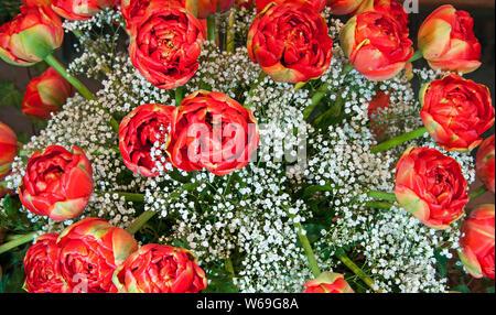 Tulipes rouges et blanches fleurs bouquet souffle de bébé libre. Ces tulipes rouges sont une variété qui ressemble à roses rouges, mais sont en effet en fleurs de printemps. Banque D'Images