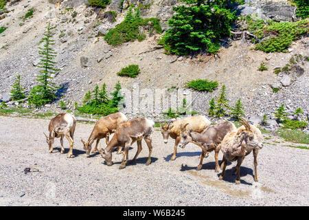 Mouflons le pâturage par le côté de la route, dans le parc national Banff, Alberta, Canada. Banque D'Images