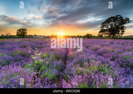 Coucher de soleil sur de magnifiques champs de lavande croissant dans la campagne du Somerset Banque D'Images