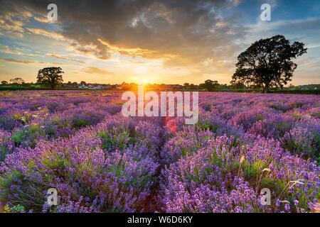 Magnifique coucher de soleil sur les champs de lavande en fleurs dans la campagne du Somerset Banque D'Images