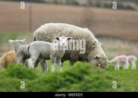 L'élevage de moutons dans la campagne anglaise, England, UK Banque D'Images