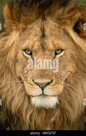 Gros plan de la tête du lion mâle (Panthera leo), qui est en tête du Parc national du Serengeti; Tanzanie
