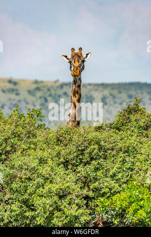 Masai girafe (Giraffa camelopardalis tippelskirchii) peche sur des buissons dans la savane, parc national de Serengeti; Tanzanie